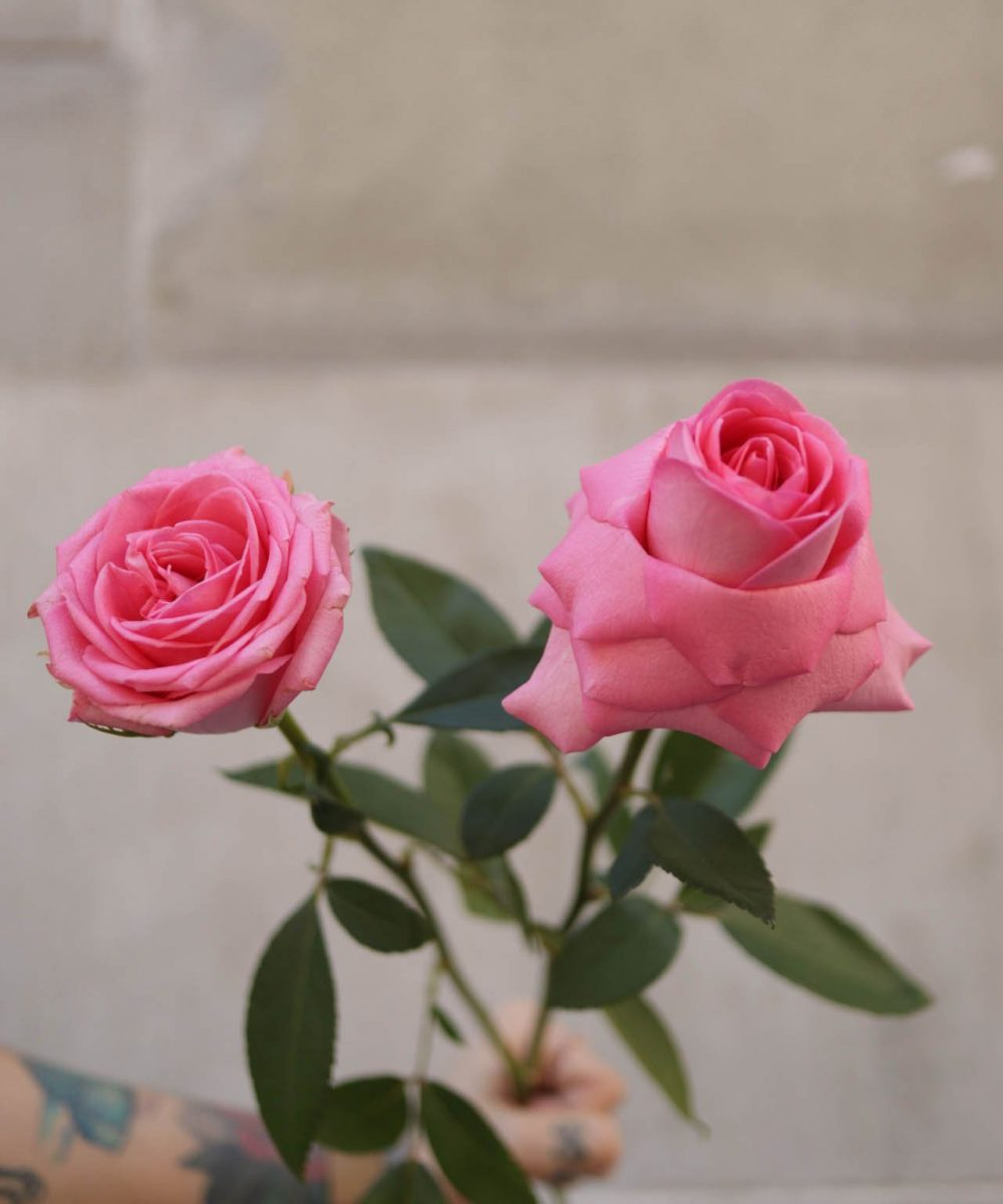 Pink roses. Left: classic style. Right: Inverted® style.